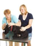 Paciente de examen del veterinario de sexo femenino Fotografía de archivo libre de regalías