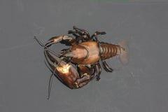 信号小龙虾, Pacifastacus leniusculus 图库摄影