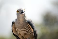 Av Pacific Baza. This is a close up of a Pacific Baza royalty free stock photo