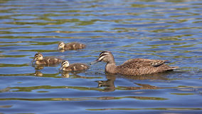 Pacific Black Duck Royalty Free Stock Images