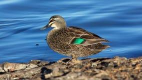 Pacific Black Duck stock photos