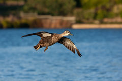 Pacific Black Duck Stock Image