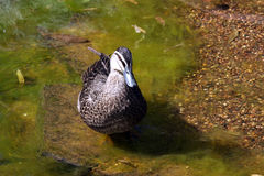 Pacific Black Duck - Anas superciliosa. Adelaide, South Australia Royalty Free Stock Photos