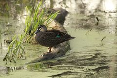 Pacific Black Duck (Anas Superciliosa) Royalty Free Stock Photography