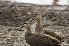 Pacific Black Duck (Anas Superciliosa) Royalty Free Stock Photos