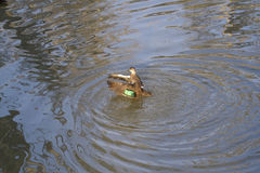 Pacific Black Duck (Anas Superciliosa) Stock Images