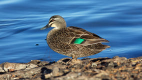 Pacific Black Duck Royalty Free Stock Image