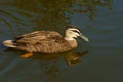 Pacific Black Duck. (Anas superciliosa) on lake near coast of Queensland Australia Royalty Free Stock Photos