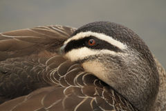 Pacific Black Duck (Anas Superciliosa) Royalty Free Stock Images