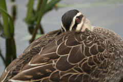 Pacific Black Duck (Anas Superciliosa) Royalty Free Stock Photo