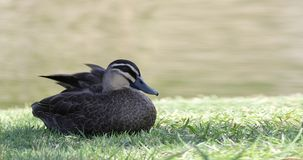 Pacific Black Duck, Anas superciliosa, relaxing stock photography