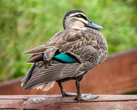 Pacific Black Duck (Anas superciliosa rogersi) Showing Turquoise Stock Images