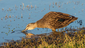 Pacific Black Duck Drinking Stock Images