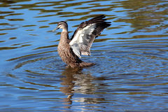 Pacific black duck  flapping its strong wings after a swim in the blue lake. Stock Photos