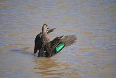 Pacific black duck. Flapping its wings, Australia Royalty Free Stock Photo