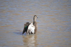 Pacific black duck. Flapping its wings, Australia Royalty Free Stock Images