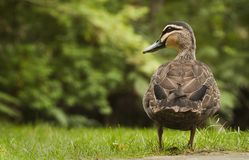 Pacific Black Duck on grass. Pacific Black Duck standing on green grass Royalty Free Stock Photo