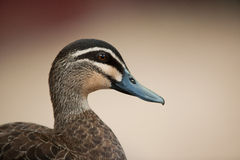 Pacific black duck Stock Images