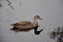 Pacific Black Duck: Reflections Royalty Free Stock Photos