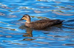 Pacific black duck swims in the lake. Pacific black duck, Anas Superciliosa, swims in the lake stock image