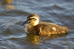 Pacific Black Duckling Stock Photo