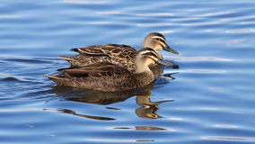 Pacific Black Ducks Stock Images