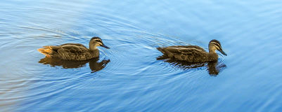 Pacific black ducks. On the lake in Glen Waverley, Victoria, Australia royalty free stock images