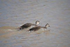 Pacific black ducks. Two pacific black ducks racing, Australia royalty free stock photo