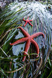 Pacific Blood Sea Stars Royalty Free Stock Photos