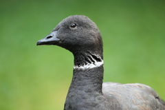 Pacific brent goose. The detail of pacific brent goose royalty free stock photo