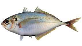 Pacific Bumper. Fish on white background file Royalty Free Stock Photos