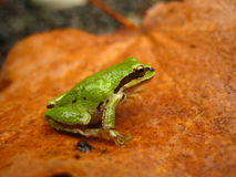 Pacific chorus frog (Pseudacris regilla) Stock Photos