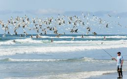 Flock of Seagulls and Beach surf fishing. Pacific City, Oregon, USA - April 8, 2015:  A flock of seagulls fly`s near a fisherman as he walks the shore guiding Royalty Free Stock Image