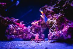 Pacific Cleaner Shrimp in a Coral Reef Underwater Environment. A purple Pacific cleaner shrimp surrounded by underwater coral reefs, rocks and beach sand stock images