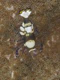 Pacific Clown Anemone Shrimp stock image