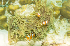 Pacific Clownfish in a colorful purple host anemone Royalty Free Stock Photography