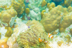 Pacific Clownfish in a colorful purple host anemone Royalty Free Stock Images