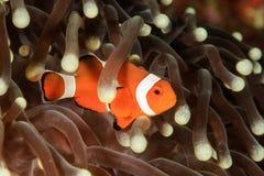 Pacific Clownfish Stock Photos