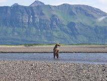 Pacific Coastal Brown bears usus arctos - grizzliy - on the Ke. Nai peninsual. Fishing in the water of an estuary in Katmai National Park Alaska. August 2018 royalty free stock images