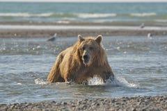 Pacific Coastal Brown bears usus arctos - grizzliy - on the Ke. Nai peninsual. Fishing in the water of an estuary in Katmai National Park Alaska. August 2018 royalty free stock image