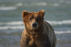 Pacific Coastal Brown bears usus arctos - grizzliy - on the Ke. Nai peninsual. Fishing in the water of an estuary in Katmai National Park Alaska. August 2018 stock photo