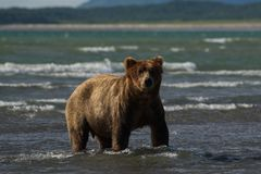 Pacific Coastal Brown bears usus arctos - grizzliy - on the Ke. Nai peninsual. Fishing in the water of an estuary in Katmai National Park Alaska. August 2018 stock images