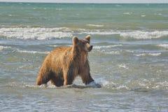 Pacific Coastal Brown bears usus arctos - grizzliy - on the Ke. Nai peninsual. Fishing in the water of an estuary in Katmai National Park Alaska. August 2018 stock image