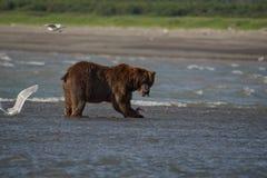 Pacific Coastal Brown bears usus arctos - grizzliy - on the Ke. Nai peninsual. Fishing in the water of an estuary in Katmai National Park Alaska. August 2018 royalty free stock photos