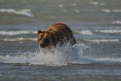Pacific Coastal Brown bears usus arctos - grizzliy - on the Ke. Nai peninsual. Fishing in the water of an estuary in Katmai National Park Alaska. August 2018 royalty free stock photography