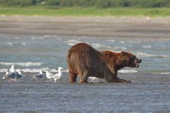 Pacific Coastal Brown bears usus arctos - grizzliy - on the Ke. Nai peninsual. Fishing in the water of an estuary in Katmai National Park Alaska. August 2018 stock photography