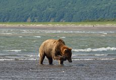 Pacific Coastal Brown bears usus arctos - grizzliy - on the Ke. Nai peninsual. Fishing in the water of an estuary in Katmai National Park Alaska. August 2018 stock photos