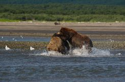 Pacific Coastal Brown bears usus arctos fighting - grizzliy -. Pacific Coastal Brown bears usus arctos in Katmai National Park. Bears are fighing over fishing stock photos