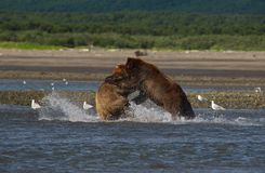 Pacific Coastal Brown bears usus arctos fighting - grizzliy -. Pacific Coastal Brown bears usus arctos in Katmai National Park. Bears are fighing over fishing royalty free stock photography