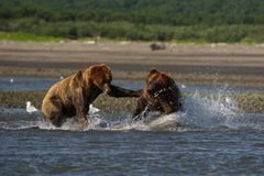 Pacific Coastal Brown bears usus arctos fighting - grizzliy -. Pacific Coastal Brown bears usus arctos in Katmai National Park. Bears are fighing over fishing royalty free stock photos
